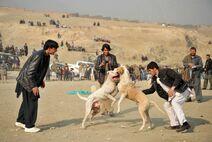 Dog ceremonial fight