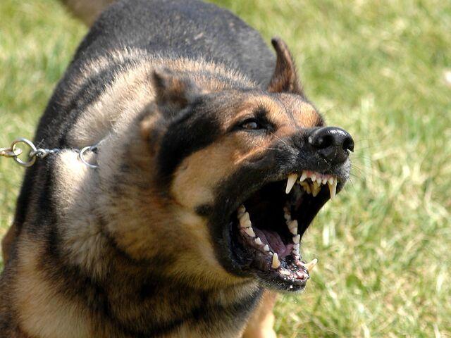 File:German-shepherd-open-the-big-mouth 93829-1600x1200.jpg