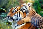 Warning!!!...Tiger in training...-O))