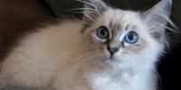 Balinese - Blue Lynx (fur)
