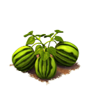 Sw watermelon last