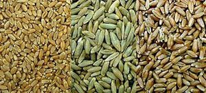 Wheat, rye, triticale montage.jpg