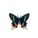 Butterfly madagascan sunset moth