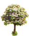 Cherry tree ph3