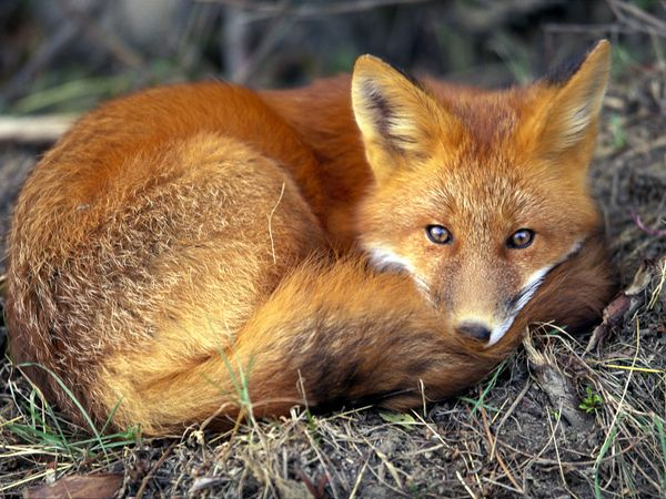 File:Red-fox 679 600x450.jpg