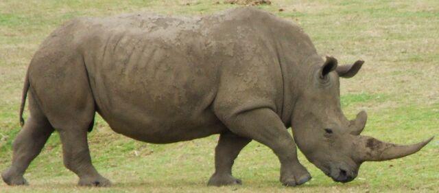 File:Rhino 2.jpg