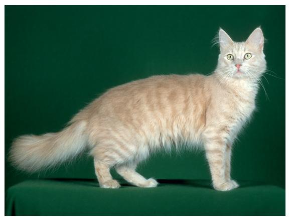 File:Cat turkango cream tabby lg.jpg