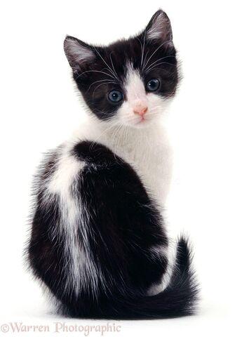 File:04752-Black-and-white-kitten-white-background.jpg