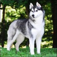 Siberian-Husky 7
