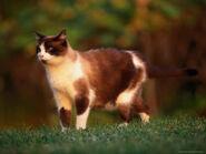 Frank-siteman-domestic-short-hair-cat-outdoors