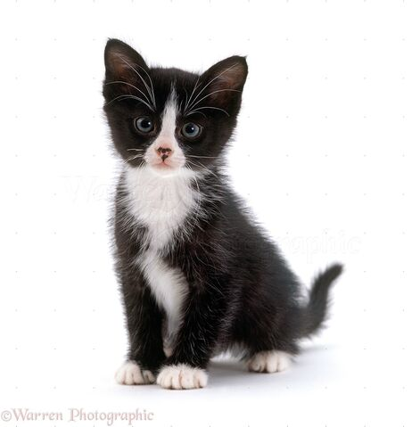 File:16699-Black-and-white-kitten-6-weeks-old-white-background.jpg