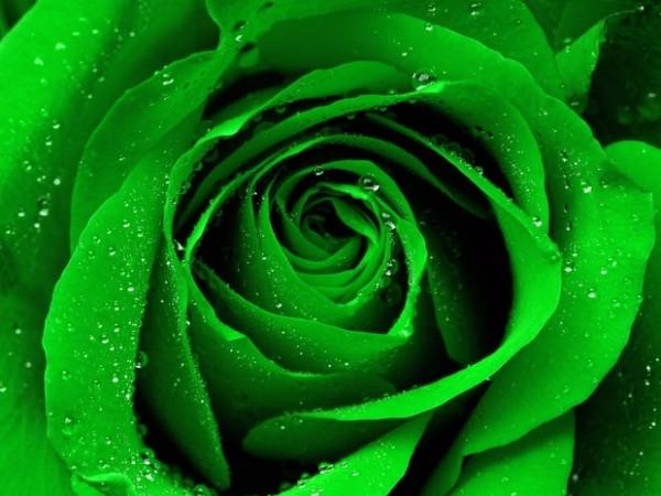 File:Green-roses-600x450.jpg
