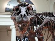 T.-rex-skull-frontal