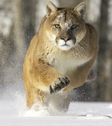 File:Puma.jpg