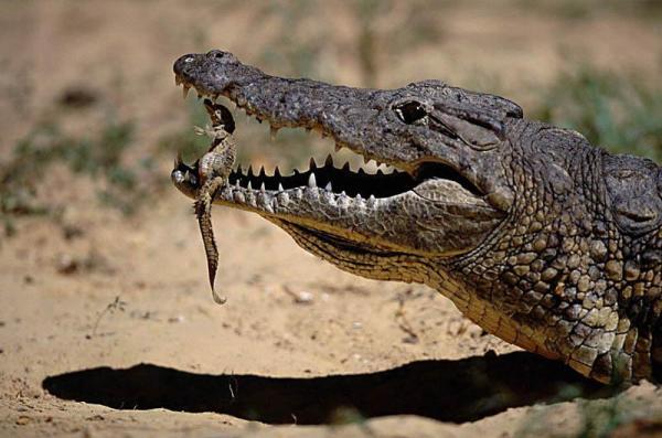 File:10-Mother-Crocodile-Handles-Her-Baby-Carefully.jpg