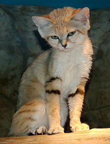 File:Cute Sand Cat.jpg