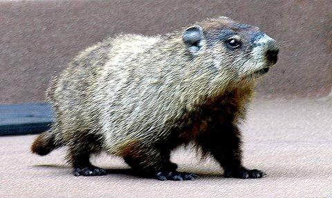 File:Happy Groundhog Day!.jpg