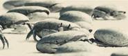 Davys crabs