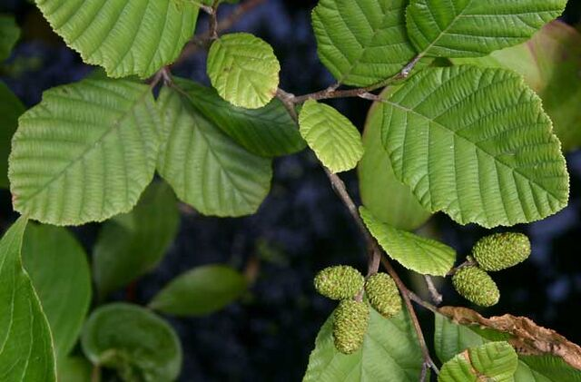 File:Alder leaves.jpg