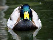 Mallard-duck-1024-768