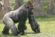 Gorillas(2)