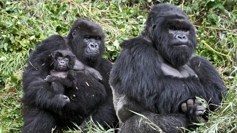 Gorillas... 98