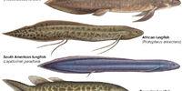 Sarcopterygii (Taxonomy)
