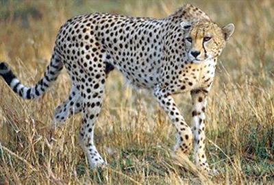 File:Asiatic-cheetahs.jpg