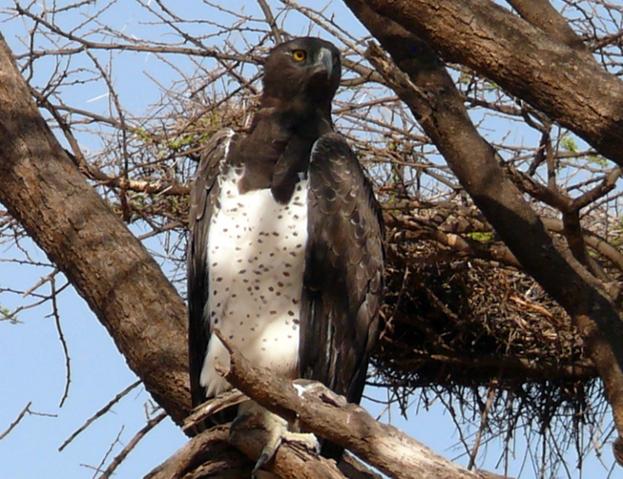 File:Martial eagle.PNG