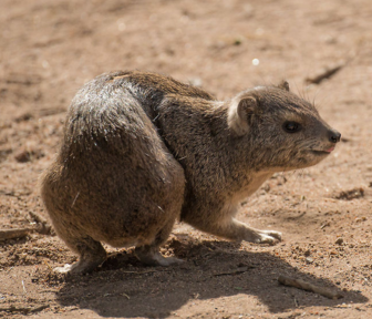 File:Southerntreehyrax.png