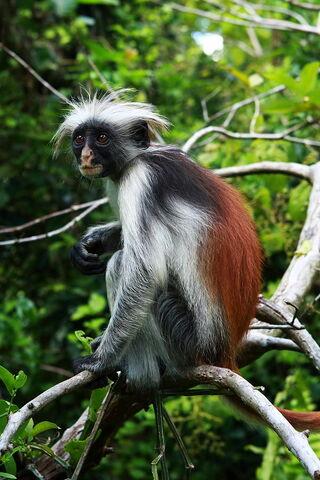 File:Red-colobus-monkey-07.jpg