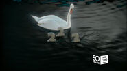 Bbc2wales50 swan 04