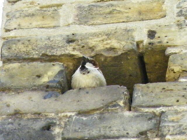 File:Cock house sparrow.JPG