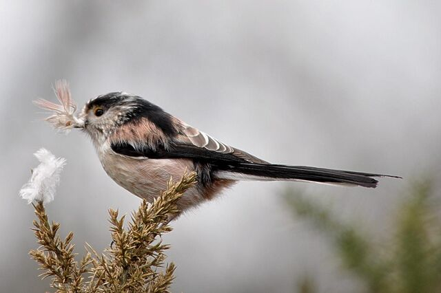 File:Long-tailed Tit at Barnes Common.JPG