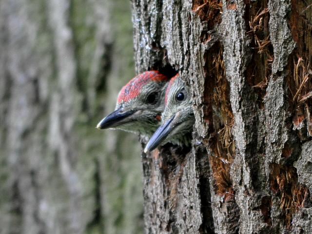 File:Green Woodpecker young on Wimbledon Common.JPG