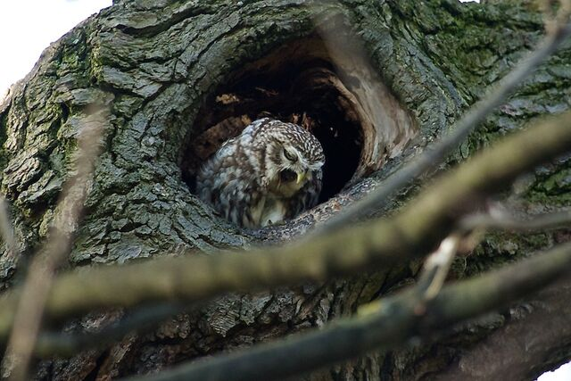 File:Little owl 114.jpg