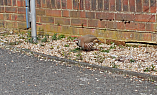 File:Red Legged Partridge 5.png