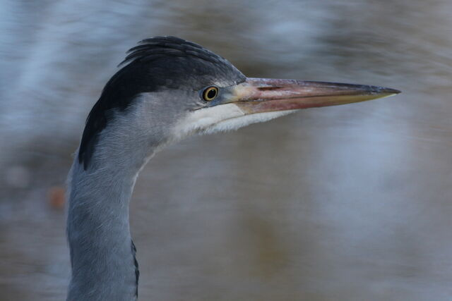 File:Bold young heron (thanks to Allan).JPG
