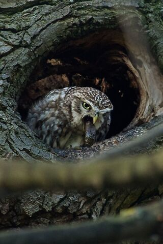 File:Little owl 117.jpg