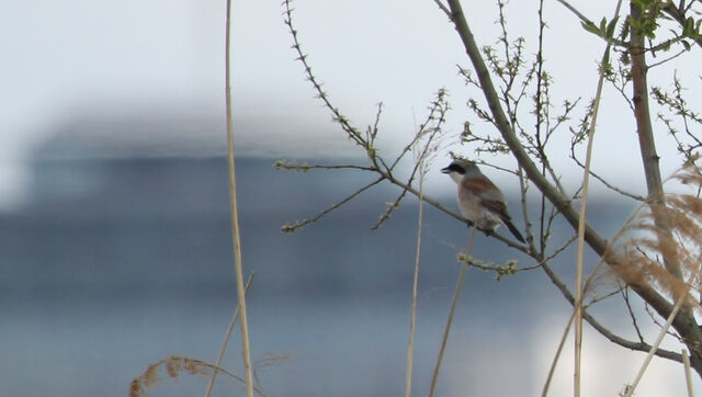 File:Red back shrike 1.jpg