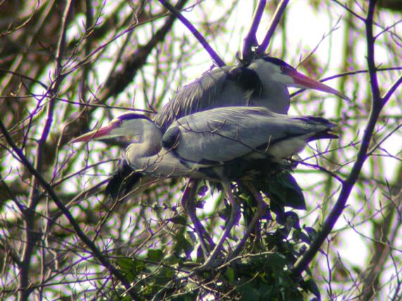 File:Herons MHP.jpg