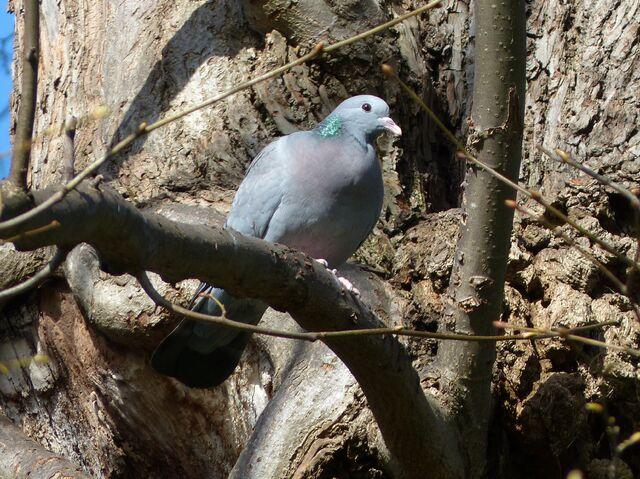File:Stock Dove Swanley Park (1).JPG