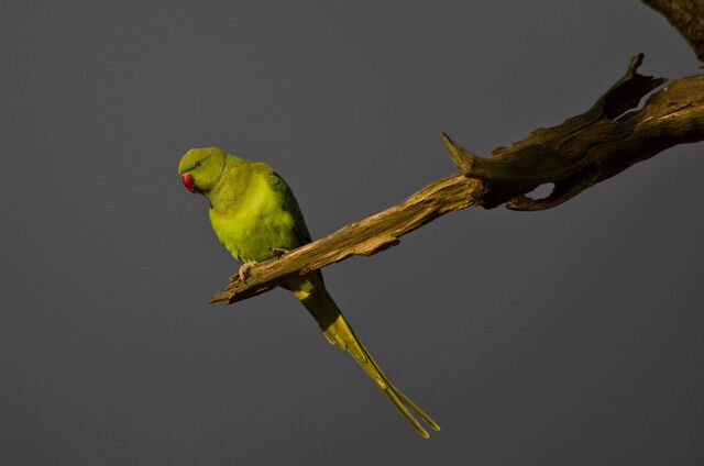 File:Parakeet against a very ominous looking sky in Richmond Park.jpg