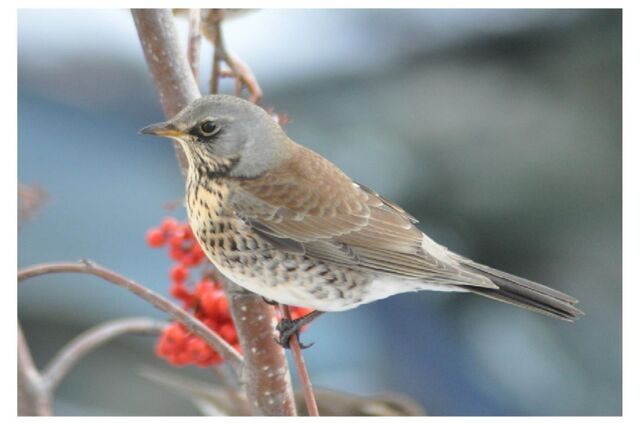 File:Fieldfare 33.JPG