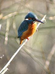 Kingfisher (MHP 24-02-03) Dylan Macky