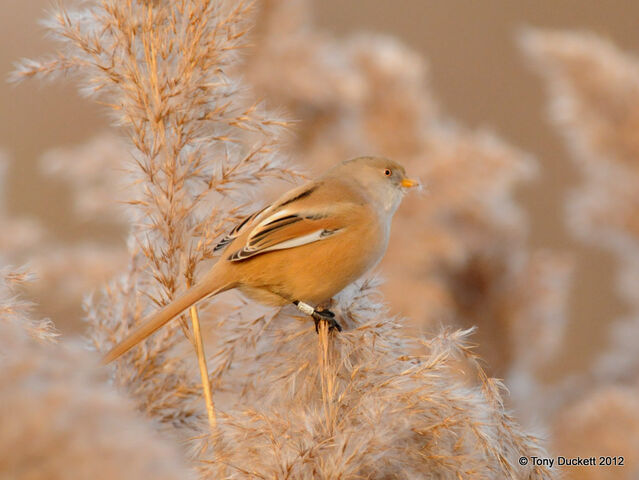 File:Bearded Reedling 2.jpg