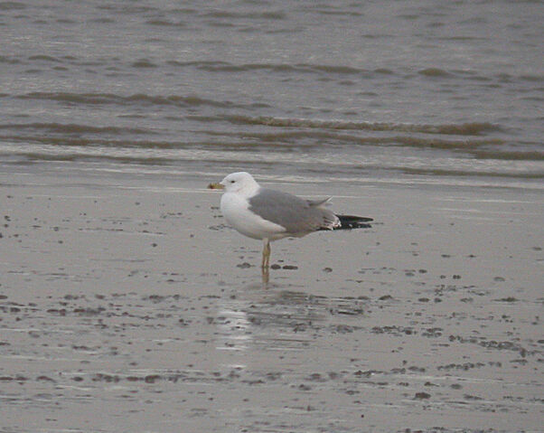 File:Yellow Legged Herring Gull (Adult).jpg