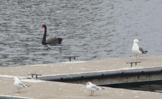 File:Black Swan 01.jpg