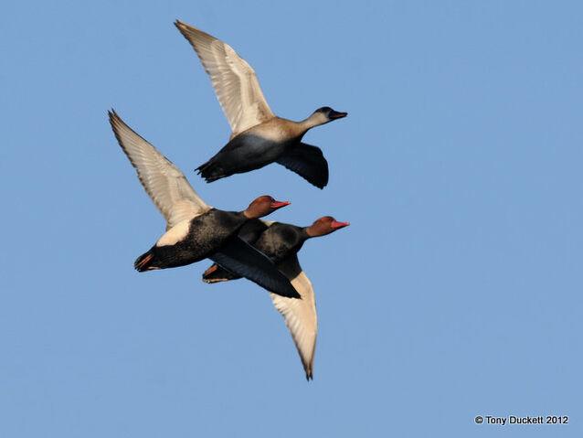 File:Red crested Pochards.jpg