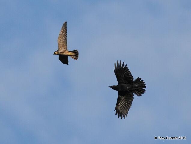File:Hobby and Crow.JPG